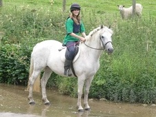 All Rounder horse - 14 yrs 14.2 hh Grey - North Yorkshire