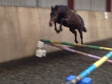 Young Stock  horse - 3 yrs 4 mths 15.0 hh Bay - Wiltshire