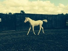 Cremello Part Bred Arab Colt
