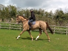All Rounder horse - 9 yrs 17.1 hh Liver Chestnut - Kent