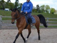 All Rounder horse - 13 yrs 16.0 hh Bay - Warwickshire