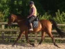 All Rounder horse - 14 yrs 16.0 hh Bay - Warwickshire
