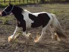 Very quite sensible cob mare & foal good home wanted