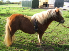 Gorgeous registered standard shetland, show quality, fab temperam...