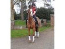 All Rounder horse - 10 yrs 16.0 hh Chestnut - Kent