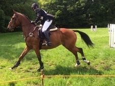 16. 1hh Irish Tb Gelding. Super All Rounder, Jumps For Fun!