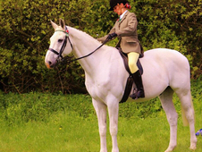 17hh hanoverian for part loan