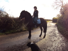 14. 2hh beautiful welsh cob for sale