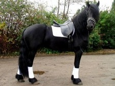 Nice And Lovely Friesian Horse Available