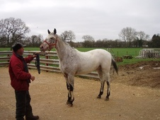 Young Stock  horse - 4 yrs 16.1 hh Appaloosa - Wiltshire
