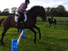 All Rounder horse - 11 yrs 16.0 hh Dark Bay - Leicestershire