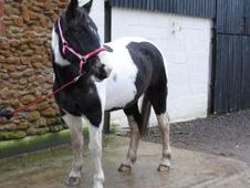 All Rounder horse - 5 yrs 16.2 hh  - Norfolk