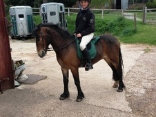 All Rounder horse - 3 yrs 12.0 hh Bay - Cheshire