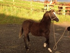 Registered Welsh A Filly Foal