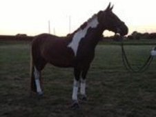 14hh Sports pony for full loan