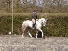 Eventers horse - 5 yrs 16.0 hh Grey - Essex