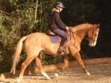 All Rounder horse - 11 yrs 16. 1 hh Chestnut Roan - Kent