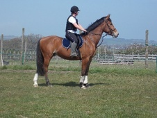 All Rounder horse - 3 yrs 16.1 hh Bright Bay - Isle of Wight