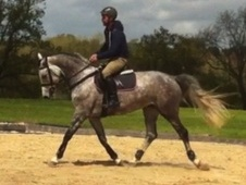All Rounder horse - 4 yrs 10 mths 16.0 hh Dapple Grey - East Sussex