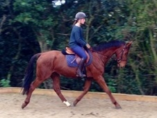 Eventers horse - 5 yrs 16. 1 hh Liver Chestnut - Kent