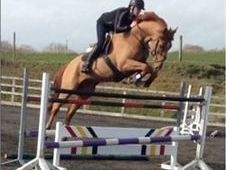 All Rounder horse - 6 yrs 16. 2 hh Chestnut