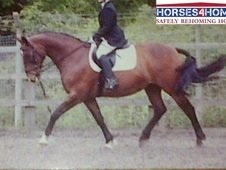 Erin, 16h, Warmblood Cross, 18 Years, Mare - Kent