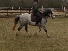 Working Hunter/ WHP horse - 8 yrs 12.0 hh Dapple Grey - Hertfords...