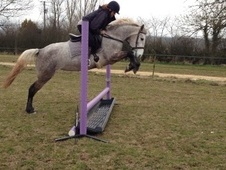 All Rounder horse - 4 yrs 14.2 hh Grey - Wiltshire