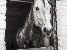 Beautiful gelding with a lovely temperament.