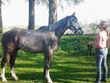 All Rounder horse - 5 yrs 15.3 hh Dapple Grey - Greater Manchester