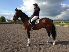 All Rounder horse - 7 yrs 16.2 hh Bay - Wiltshire