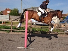 Eventers horse - 7 yrs 16.2 hh Bay - Wiltshire