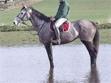 All Rounder horse - 5 yrs 16. 1 hh