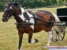 Jos, 14. 3h, Cob Type, 17 Years, Gelding, Ride And Drive - Essex