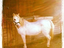 12hh grey Welsh A mare