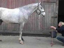 All Rounder horse - 4 yrs 16.1 hh Dapple Grey - Greater Manchester