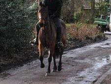 All Rounder horse - 5 yrs 16.0 hh  - Norfolk