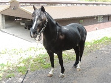 All Rounder horse - 6 yrs 12.1 hh Black - Surrey