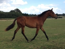 Quality Hanoverian Dressage / Jumping Prospect