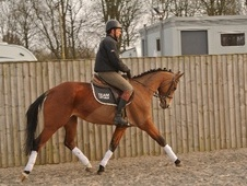 Dressage horse - 4 yrs 1 mth 15.2 hh Bay - Cheshire