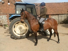 Showing horse - 8 yrs 10 mths 14.1 hh Bay Roan - Norfolk