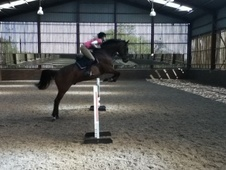 Show Jumpers horse - 11 yrs 16.1 hh Bay - North Yorkshire