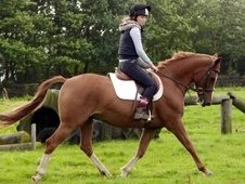 All Rounder horse - 8 yrs 5 mths 15.0 hh Chestnut - Cheshire