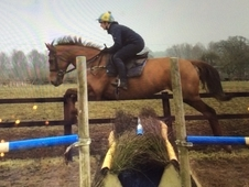 16. 2hh 9 yr old chestnut mare