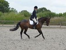 15. 3/16hh TB Gelding by Domedriver Allrounder