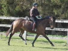 Showing horse - 5 yrs 9 mths 15.2 hh Bay - Norfolk