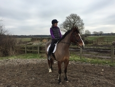 Stunning welsh section d gelding for sale