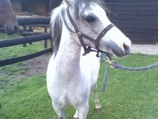 Mountain & Moorland horse - 4 yrs 1 mth 11.0 hh Grey - Kent