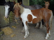 Yearling Coloured Mare