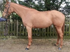 All Rounder horse - 5 yrs 16.1 hh Chestnut - East Sussex